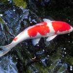 鯉(こい)抽出物食品
